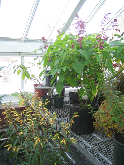 Stock plants are still blooming in the greenhouse