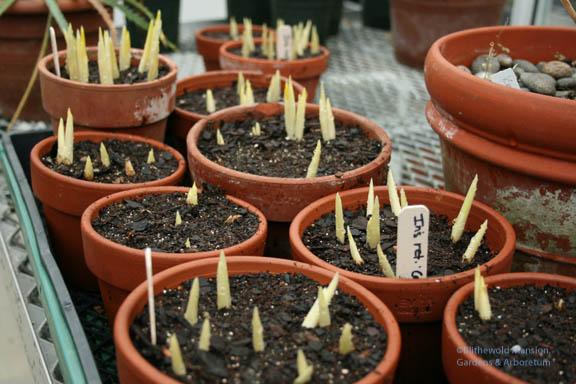 more Iris reticulata 'Clairette' emerging 1-2-08