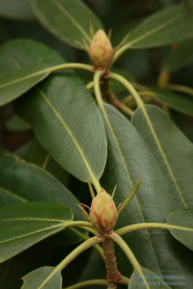 Rosebay Rhododendron (Rhododendron maximum) in bud