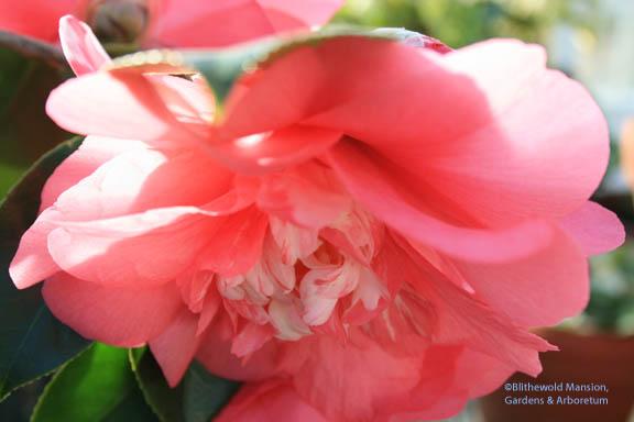 Camellia chandlerei