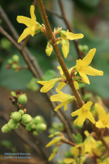Forced branches - Forsythia and Flowering Quince