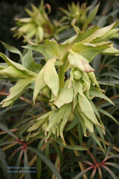 Helleborus foetidus showing its buds
