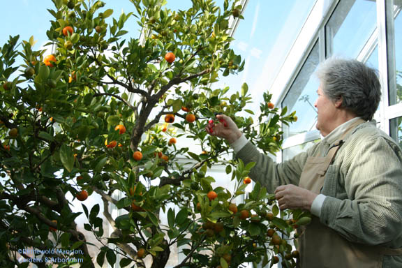 Julie pruning the Calamondin Orange