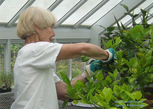 Pat washing every leaf on the citrus (painting the roses red)