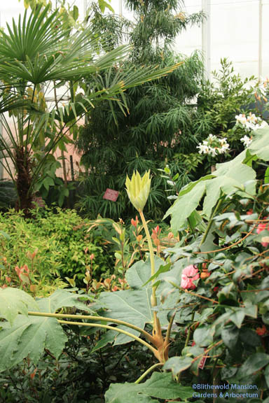 Temperate zone - Tetrapanax papyrifera (rice paper plant) in the foreground