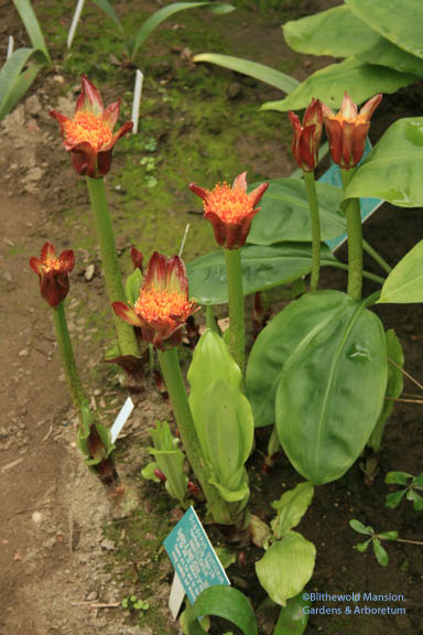 Bulbs in the temperate zone