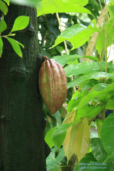 A cocoa pod ripening on the tree (Theobroma cacao)