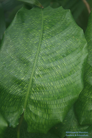 Calathea musaica - If I was a thief, I'd have this plant now.