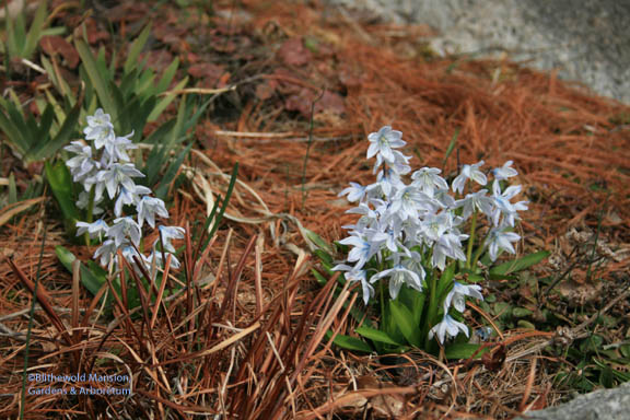 Scilla mischtschenkoana in the Rock Garden