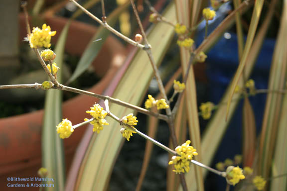 Cornus mas (Cornelian cherry) forced last week - and already open!