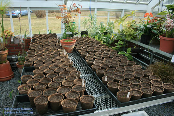 a bench full of Sweet Peas - mostly germinated!