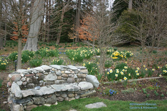 Narcissus 'Ice Follies' behind the bench