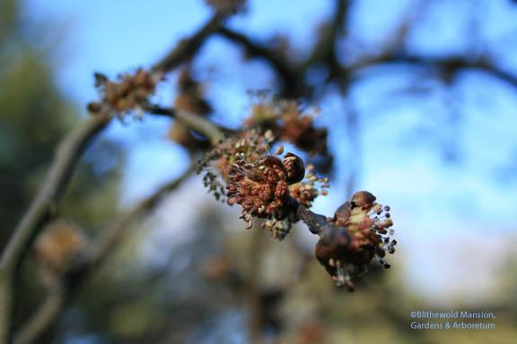 Ulmus glabra 'Camperdownii' - Camperdown Elm