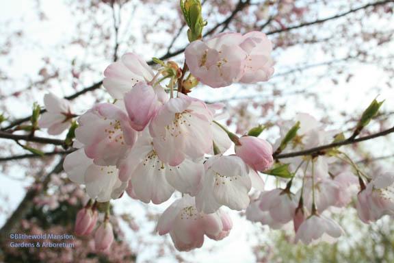 Water Garden cherry (Prunus x yedoensis 'Akebono')