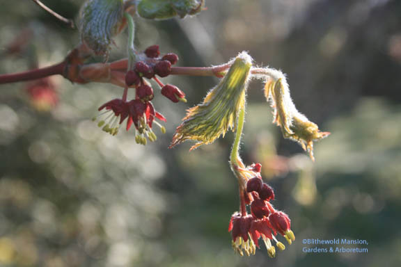 Cut leaf full moon maple (Acer japonicum 'Aconitifolium') in leaf and flower
