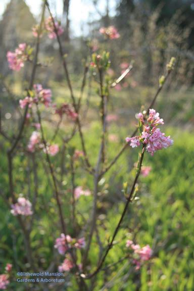 Dawn viburnum (Viburnum x bodnantense)