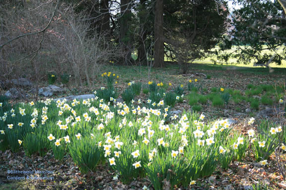 Narcissus 'Ice Follies' by the Water Garden