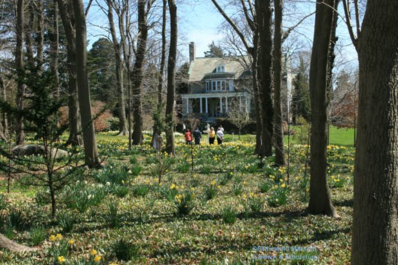 Visitors wading through a sea of daffs in the Bosquet