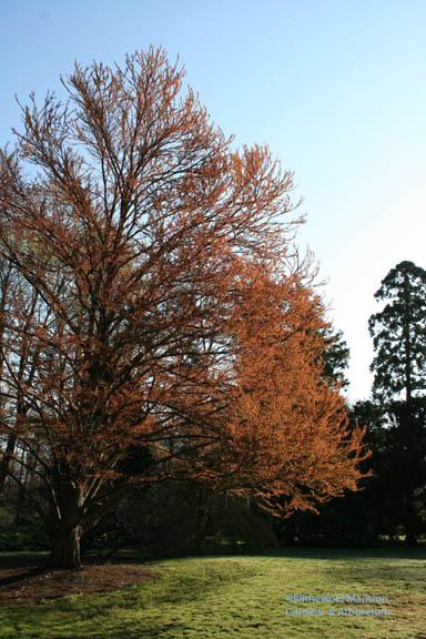 Katsura tree (Cercidiphyllum japonicum) in new leaf