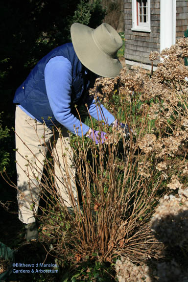 Kent deadheading the Hydrangea 'Preziosa'