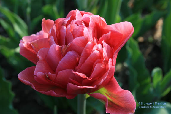 One of the Peony Mix tulips