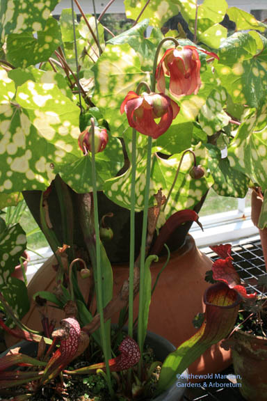 flowers on the Pitcher plant (Sarracenia leucophylla 'Judith Hindle')
