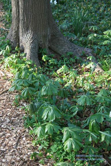 Mayapples are up (Podophyllum peltatum)
