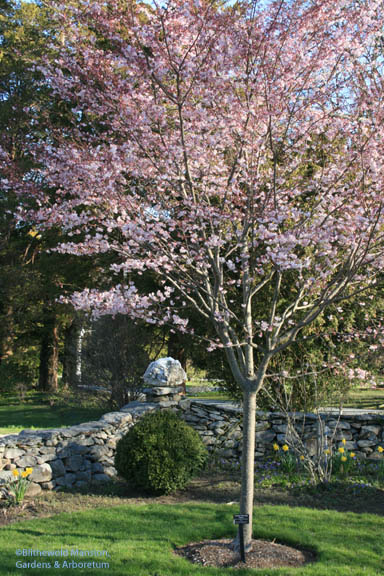 Prunus subhirtella 'Autumnalis' - Higan cherry/Autumn blooming cherry in spring bloom in the Rose Garden