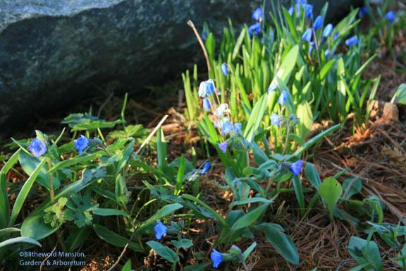Lungwort (Pulmonaria augustifolia azurea) and Scilla