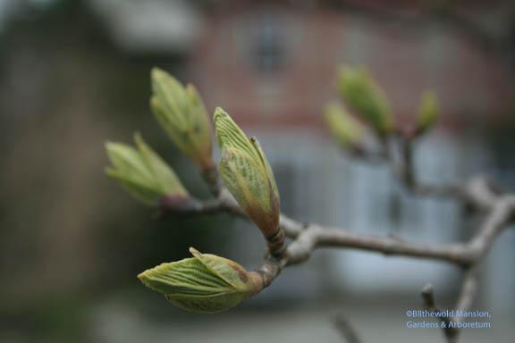 Viburnum sieboldii (Siebold Tree Viburnum) leafing out