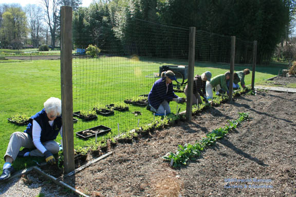The Deadheads annual Sweet pea planting portrait