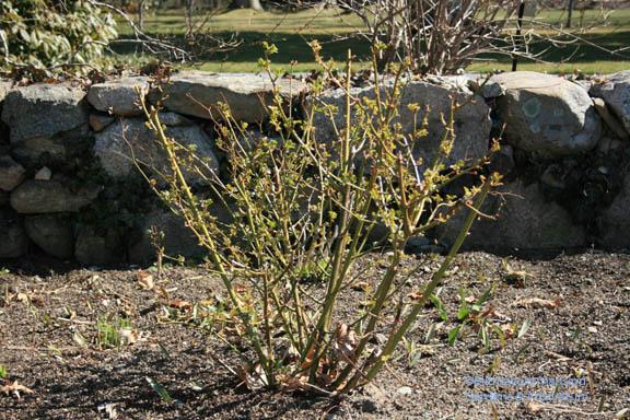 Rosa 'Ballerina' unpruned in the North Garden