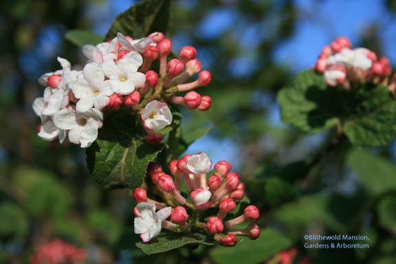 Korean Spice Bush (Viburnum carlesii)