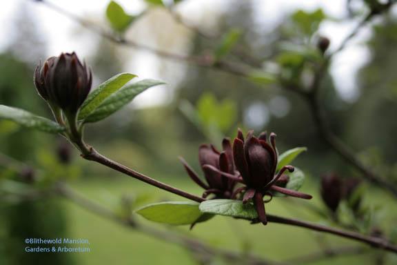 Calycanthus floridus - Carolina allspice