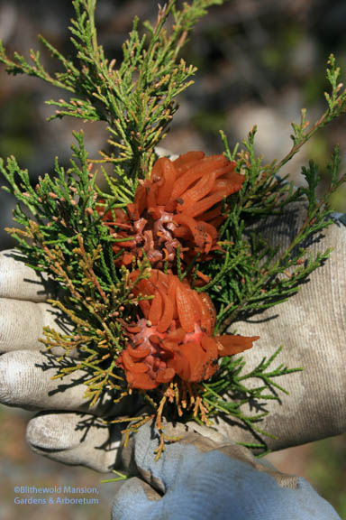 Cedar-apple rust