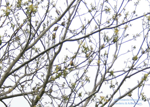 look closely - it's a flock of cedar waxwings