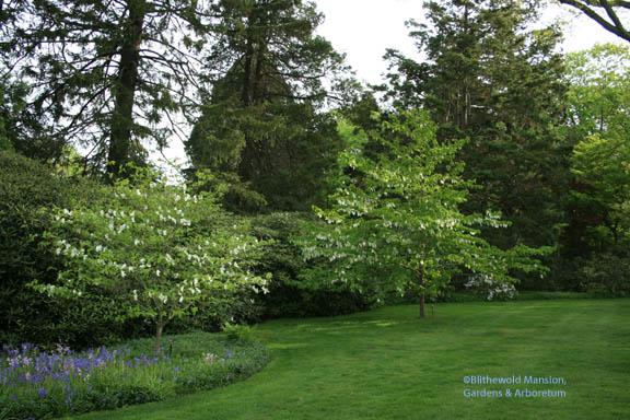 A Dogwood and the Dove tree (Davidia involucrata)