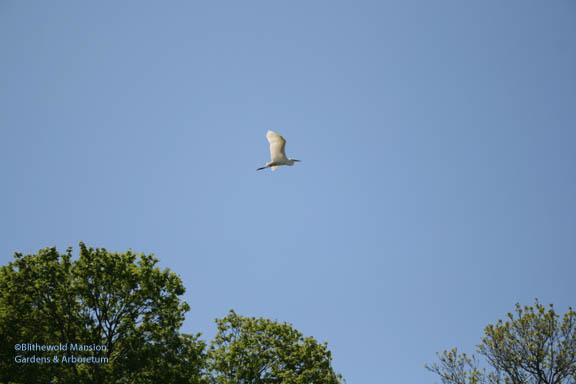 Egret flyby