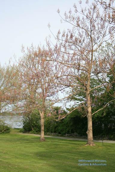 Empress trees (Paulownia tomentosa)