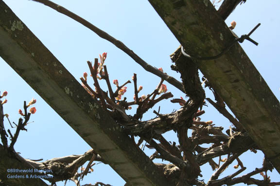 New growth on grape vines is another indicator for putting out the tender stuff.