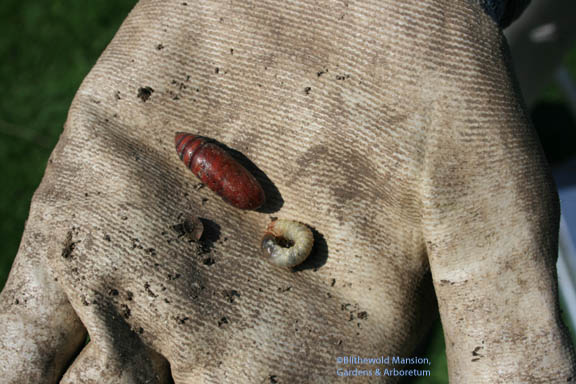 pupa and grub
