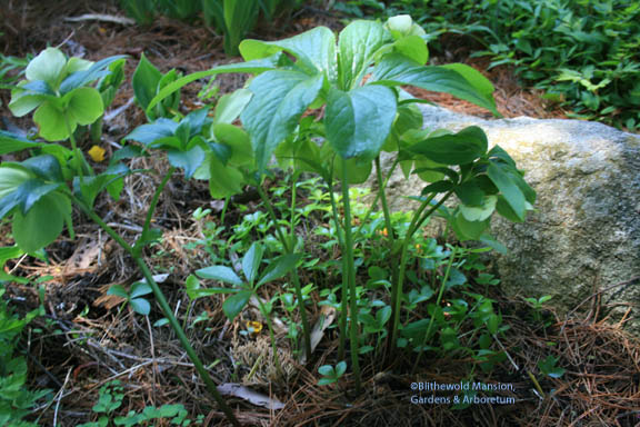 Hellebore and seedlings