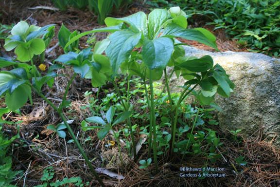 Hellebore and seedlings