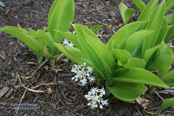 Speirantha convallarioides (false lily-of-the-valley)