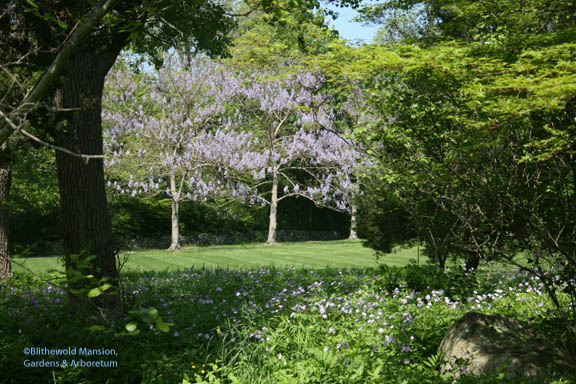 Paulownias and a reflection of Herb Robert geraniums
