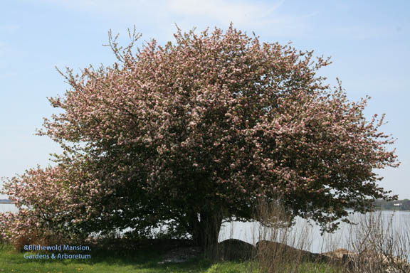 Crabapple by the shore