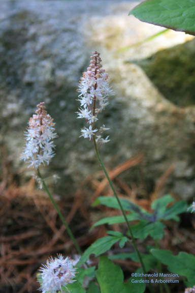 Tiarella 'Mint Chocolate'