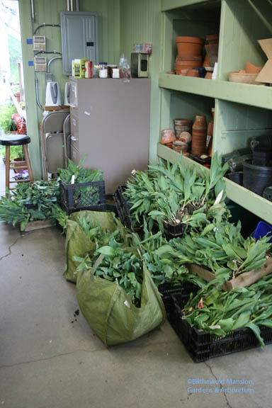 Tulip heap in the potting shed