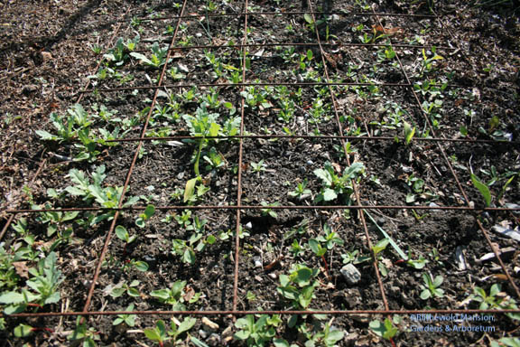 weeds and weedy volunteers in the Cutting Bed