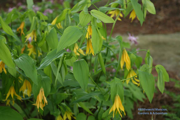Uvularia sessifolia